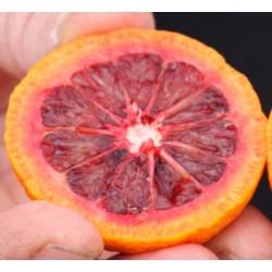 Mandarinier Satsuma Owari