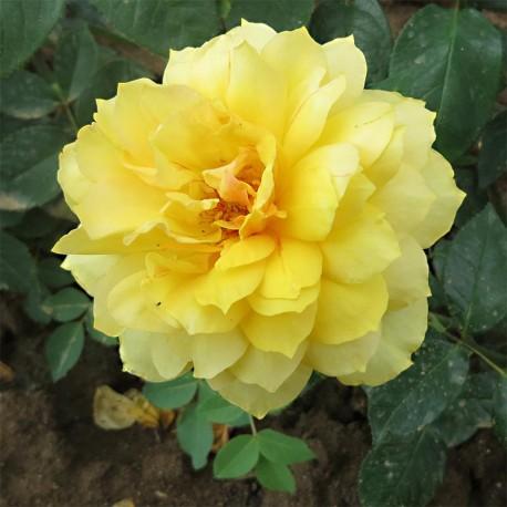 Rosier GOLD GLOW