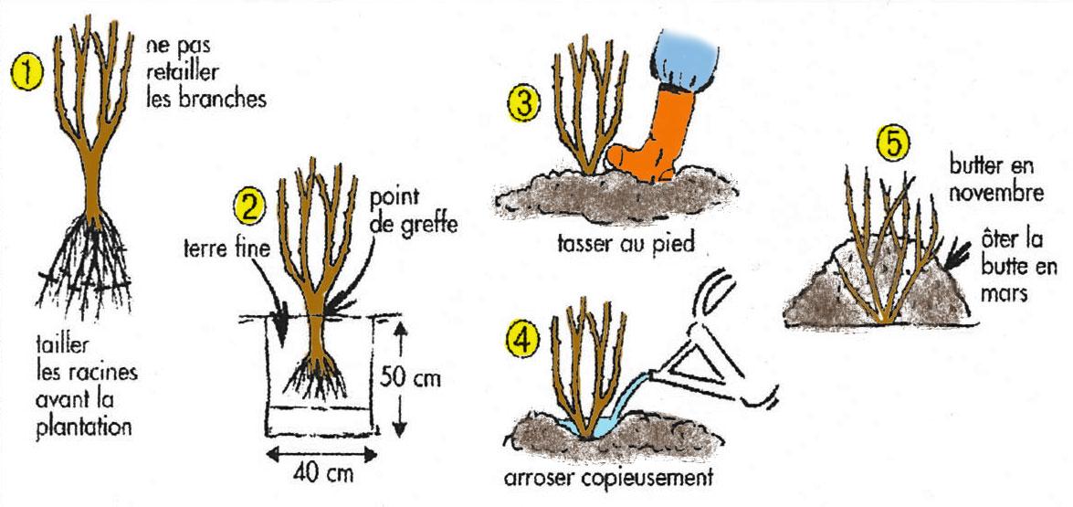 Conseils à la réception des rosiers en racines nues
